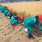 H26仙台市立大沢小学校児童による稲刈り体験④