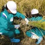 H23稲刈り体験学習3