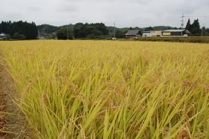 H21 稲刈り体験②