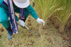 H21 稲刈り体験④