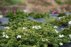 芝桜の植栽①