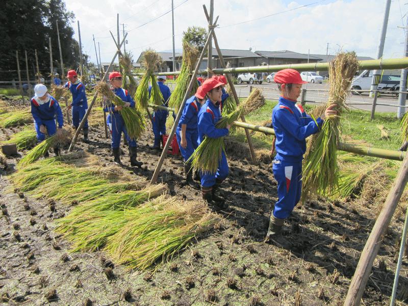 稲架掛けをする子供たち