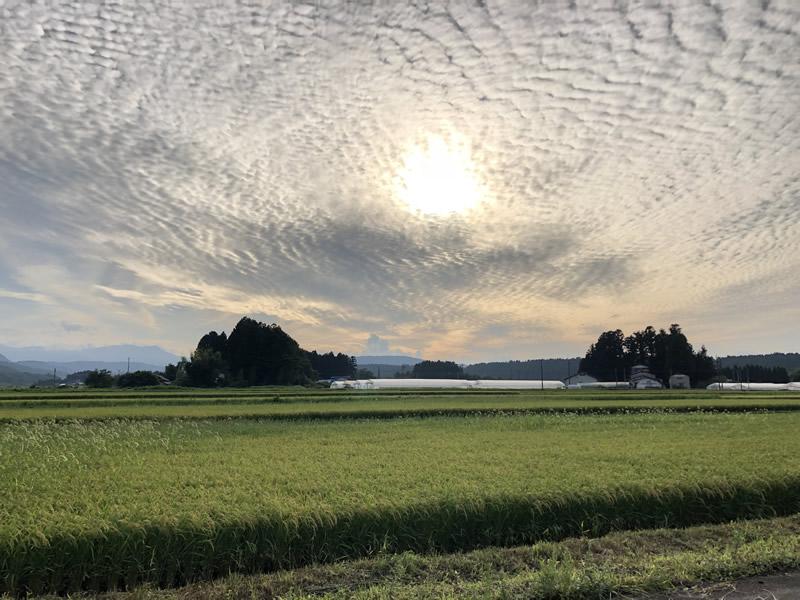 秋の稲穂とうろこ雲