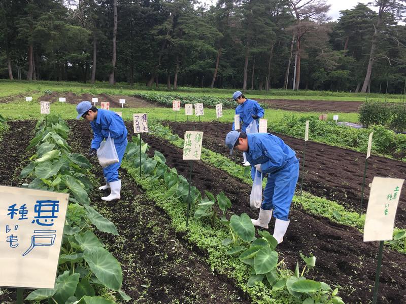 初めてのサトイモ栽培