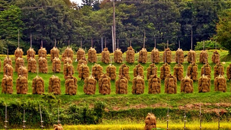稲が創る景色