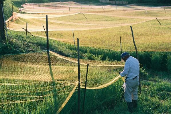稲を守るネット